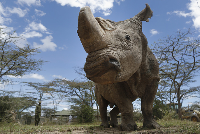The northern white rhinoceros is one of the two subspecies of the white rhinoceros. Now there are only two rhinos of this subspecies left, both of whom are female. They live in the Ol Pejeta Conservancy in Kenya and are protected round-the-clock by armed guards. Photo: Sudan, northern white rhino