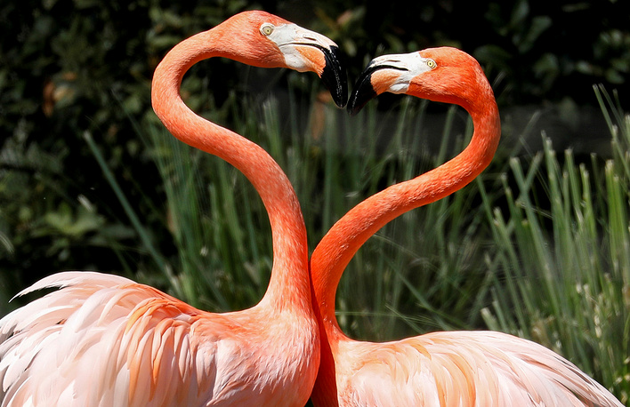Pink flamingos frolic in their enclosure at the zoo in Spain's capital of Madrid, April 18