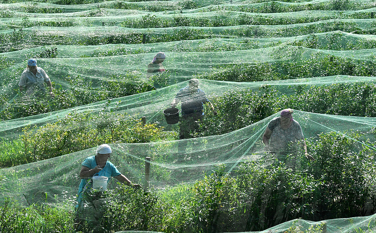 Workers harvest bog blueberry at the Olshany farm near the village of Vysokoye, Brest region, July 12