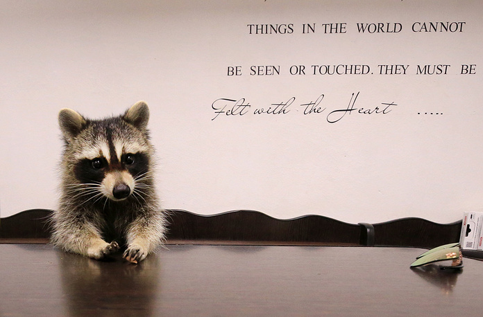 Yesha the Raccoon at Alexei Krotov's animal hospital. The raccoon is considered as an employee by the clinic's staff as it greets people at the entrance and helps to bring new clients, Rostov-on-Don, August 2