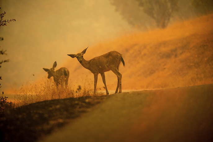 Deer graze along a road covered in fire retardant as the Carr Fire burns near Redding, USA, July 28
