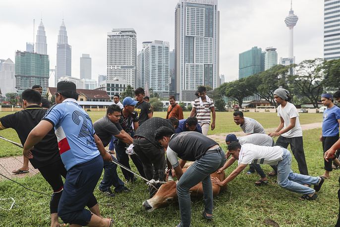 Muslims slaughter a sacrificial animal and split the meat into three parts, one for the family, one for friends and relatives, and one for the poor and needy. Photo: Malaysian muslims prepare to slaughter a cow as a sacrifice during Eid al-Adha celebrations in Kuala Lumpur