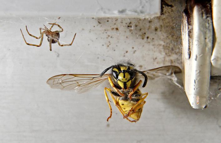 A cross spider (Araneus diadematus) hunts a yellowjacket (Vespula vulgaris) at a living room in Speyer, Germany, August 28