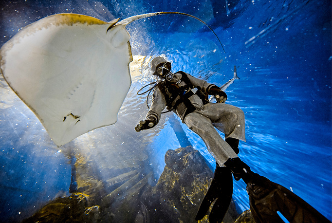 A diver feeding a ray fish at Okeanskaya Bezdna, a section of the Primorsky Aquarium of the Far Eastern Branch of the Russian Academy of Sciences on Russky Island, September 4