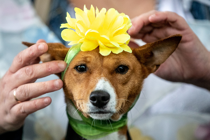 A dog wearing a flower on its head takes part in a dog costume parade in Moscow's Krasnogvardeiskiye Prudy Park