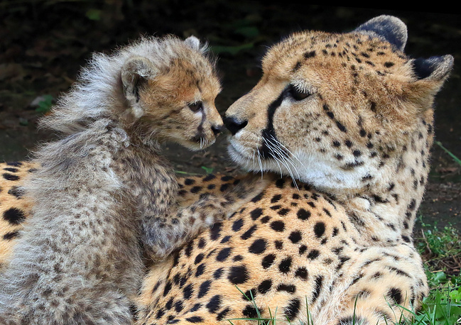 A young Cheetah with its mother at their enclosure in the zoo in Opole, Poland, September 24