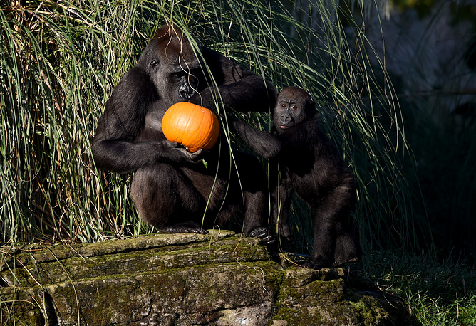 Gorillas enjoy a carved up pumpkin
