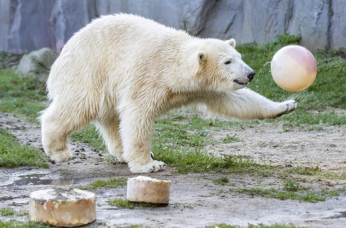 Polar bear Nanook plays with a ball as she celebrates her first birthday in the zoo in Gelsenkirchen, Germany, December 4