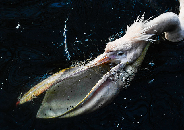 A great white pelican swims in a pond in the zoo of Dresden, January 31