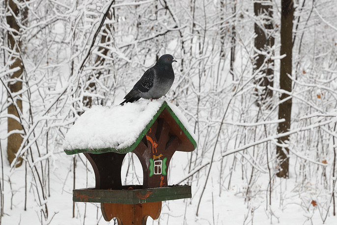 A pigeon on a bird feeder during a snowfall in south-western Moscow.