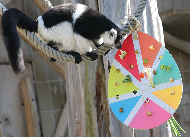 A black-and-white ruffed lemur enjoys its Easter goodies at the zoo in Hanover