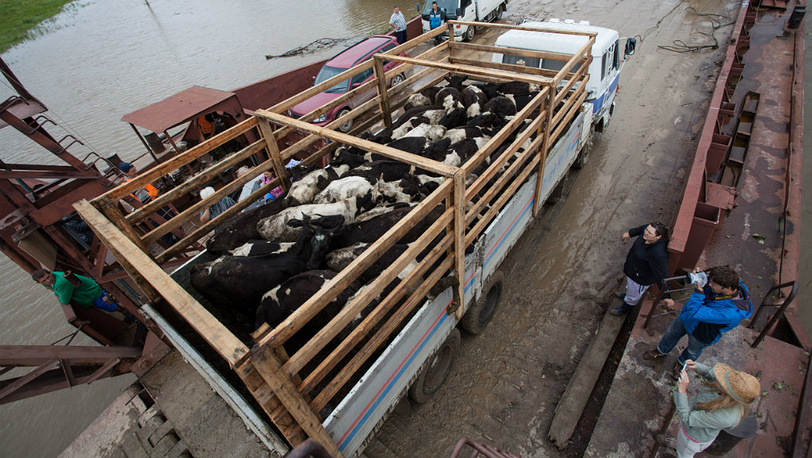 August 21. Cattle is being relocated from the flooded Krasnorechenskoe village. Photo ITAR-TASS/ Dmitry Morgulis