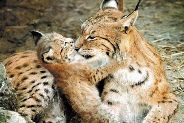 Рысь Майя со своим детенышем