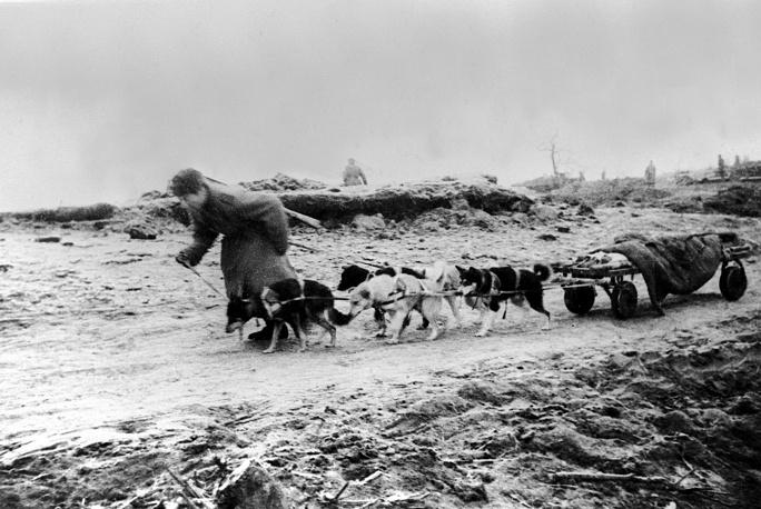Собачья упряжка вывозит раненого с поля боя.