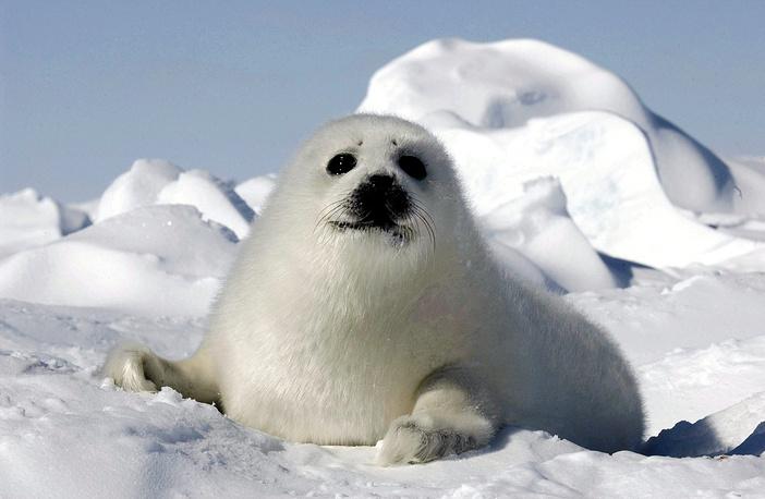 Охота на бельков поставила гренландских тюленей на грань исчезновения