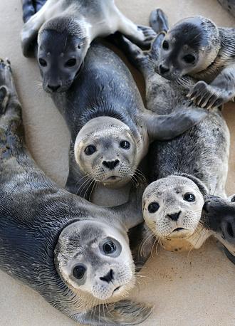 Гренландские тюлени водятся в Северной Атлантике, Белом, Баренцевом, Карском и Гренландском морях