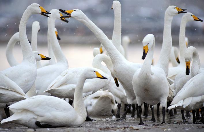 Стая лебедей, Ронгченг, Китай