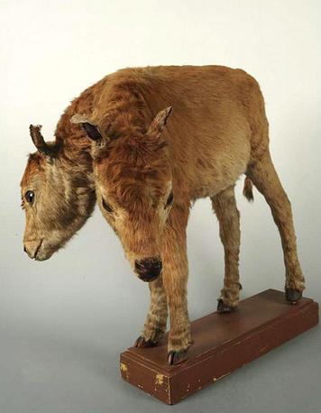 Чучело двухголового теленка.Конец XVIII века,Россия