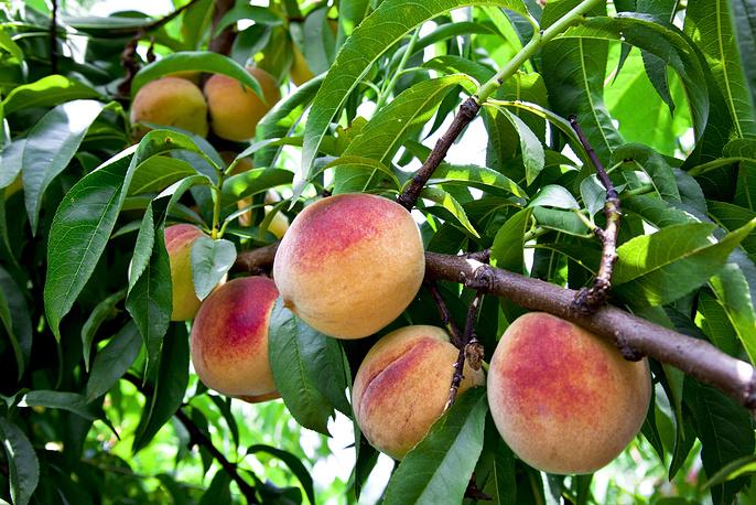 """""""Потребовалось около десяти лет, чтобы греческие персики заняли свою долю на российском рынке, - заявил один из производителей страны. Повторный выход на рынок России греческих продуктов потребует не менее 4-5 лет"""""""