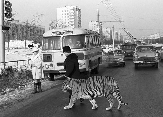 """В 1949 году в Женеве были приняты Конвенция о дорожном движении и Протокол о дорожных знаках и сигналах. В 1959 году к ним присоединился СССР. На фото: персонаж фильма """"Дерсу Узала"""" тигр по кличке Тайфун в сопровождении дрессировщика переходит дорогу, Уфа, Россия, 1976 год"""