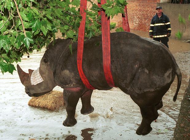 Спасение носорога из затопленного вольера в пражском зоопарке. Чехия,13 августа 2002 года