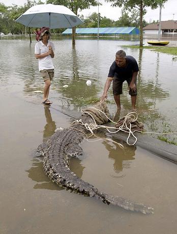 В марте 2011 года во время наводнений, вызванных проливными дождями, из зоопарка в провинции Накхонситхаммарат в Таиланде сбежали несколько крокодилов