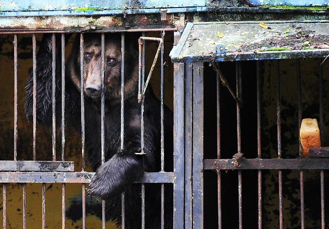 """Медведь в зоопарке """"Зеленый остров"""". Мелких и неопасных животных спасатели успели вызволить из клеток, однако в затопленных вольерах остались 14 медведей, три волкособаки, лев, дикий камышовый кот и два кабана, Уссурийск. 31 августа 2015 года"""