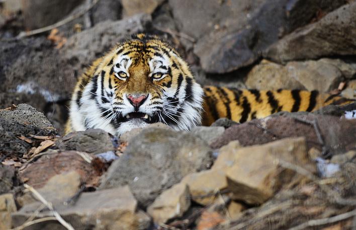 Амурский тигр по кличке Тихон, который в ноябре 2014 года нападал на домашних животных в деревнях под Хабаровском, был передан в Приморский сафари-парк после прохождения лечения в Центре реабилитации и реинтродукции тигров и других редких видов животных