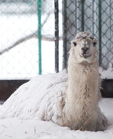 Лама в зоопарке Омска