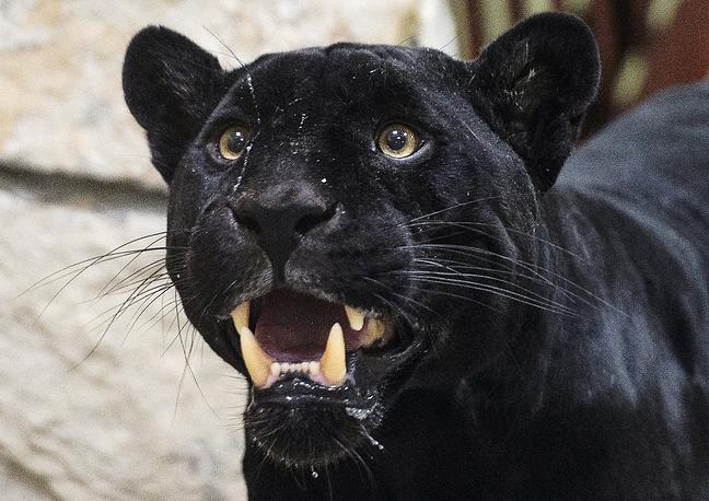 Ягуар Аргон в вольере Екатеринбургского зоопарка. В преддверии 14 февраля в зоопарке подвели итоги голосования на звание самой лучшей пары