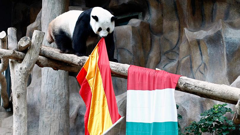 Панда-оракул из Тайланда предсказывает победу сборной Испании