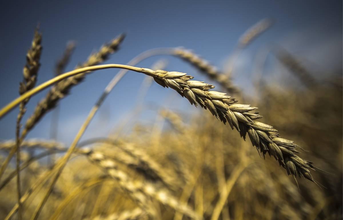 Украина исчерпала годовую квоту на беспошлинный экспорт пшеницы в ЕС