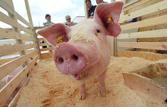 At a pig farm in Lithuania (archive)