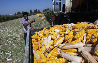 A Chinese farmer harvests corn
