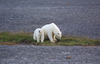 Polar bears seen on Wrangel Island