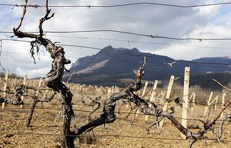 Massandra vineyards (archive)