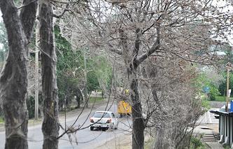 Деревья на улицах Иркутска, поврежденные горностаевой молью