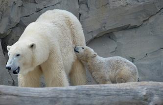 Цирк с белыми медведями