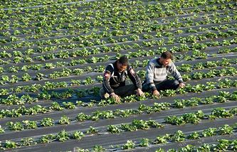 Клубничная ферма в Греции