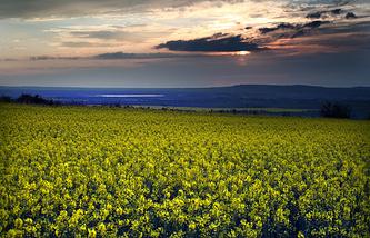 Рапсовые поля в Белогорском районе Крыма