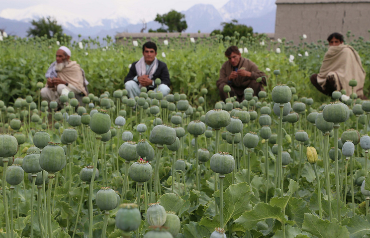 Afghan farmers extracting raw opium to be processed into heroine (archive)