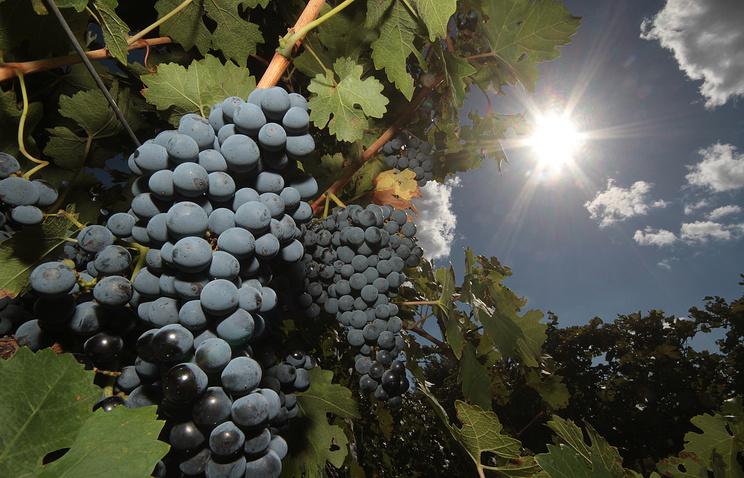 Crimean merlot grapes