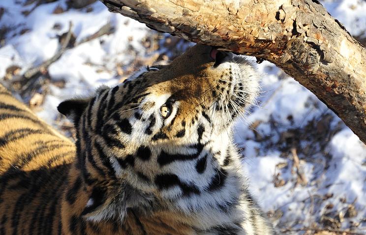 Siberian tiger (archive)