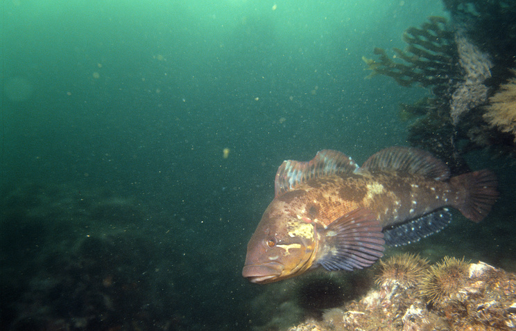 Underwater world in Avachinskaya Bay, Far Eastern territory