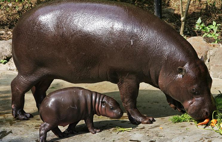 Pygmy hippopotamus with a calf