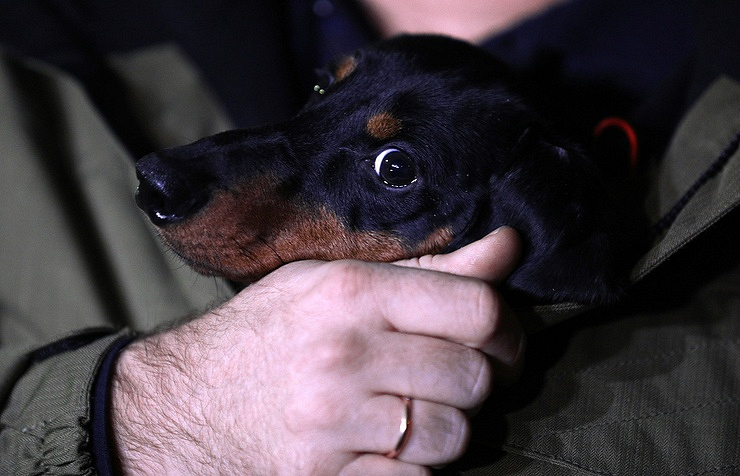 Nikolas, a dachshund who took part in a liquid breathing experiment