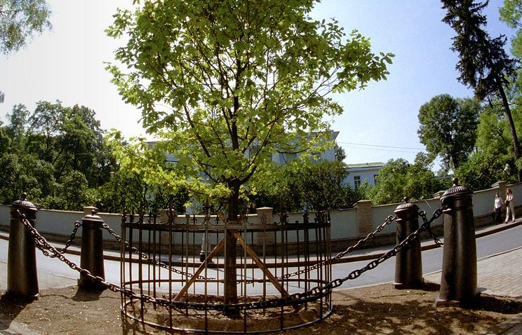 В 2003 году новое дерево было высажено на месте погибшего дуба, по преданию, посаженного на Каменном острове Петром I.
