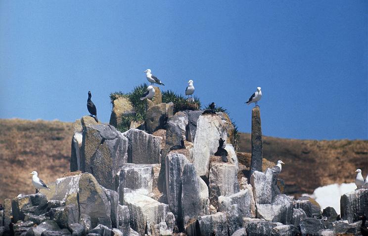 Арктика. Птицы на острове Аракамчечен в Беринговом проливе