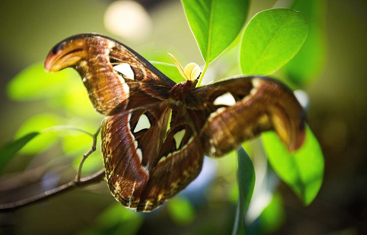 Бабочка Attacus atlas
