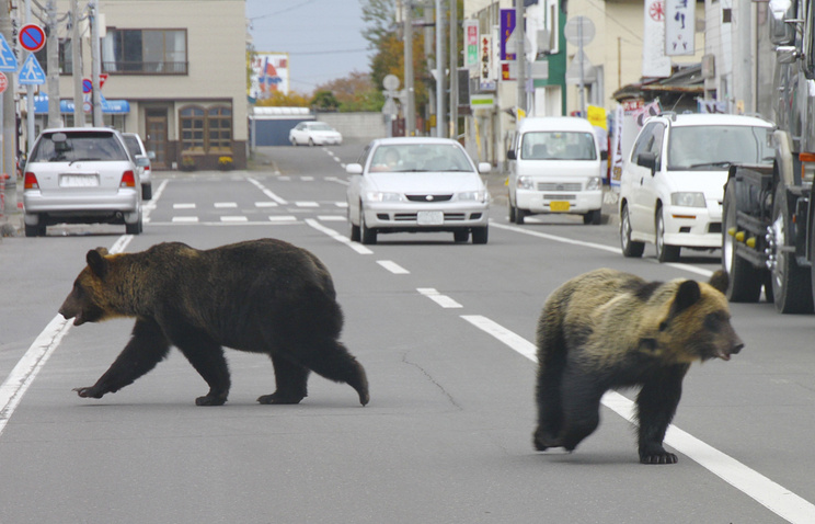Бурые медведи гуляют по улице в городе Шари в Хоккайдо